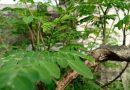 Pohon Kelor dan Manfaatnya